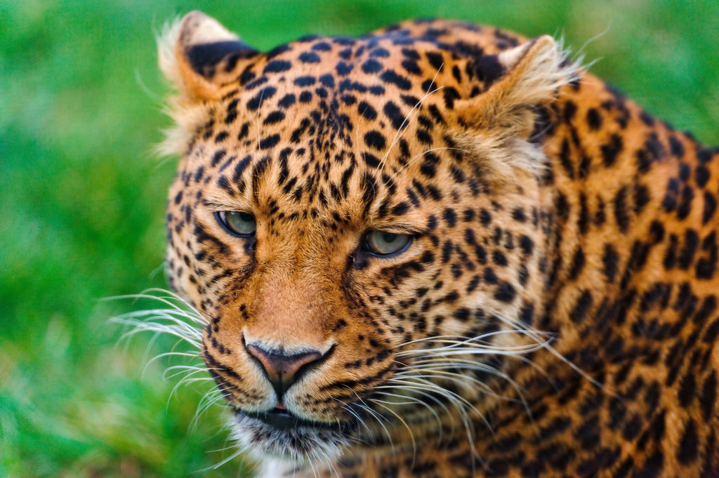 wild jaguar photo