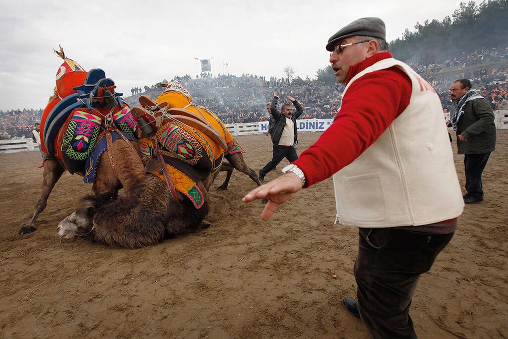 Turecko velbloudi