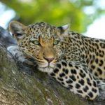 Jaký je rozdíl mezi jaguárem a levhartem?