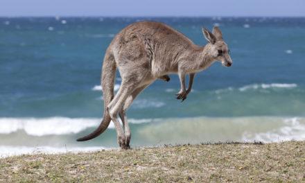 Proč klokani skáčou?