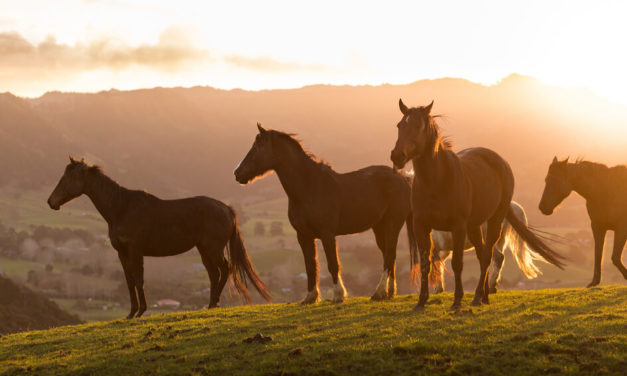 Nový Zéland je země kovbojů a divokého rodea