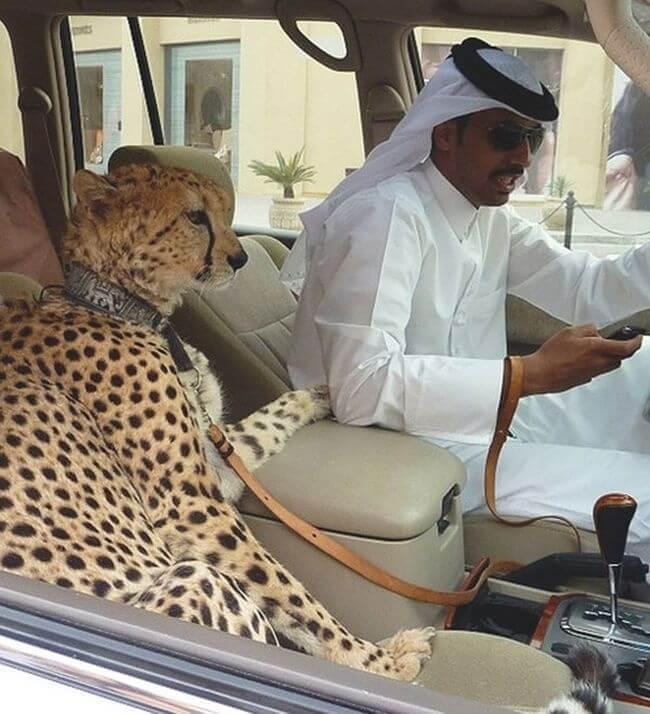 dubaj gepard