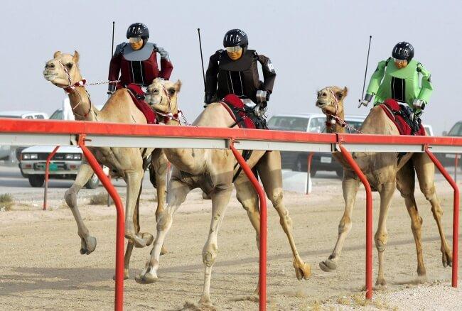 velbloudí závody dubaj