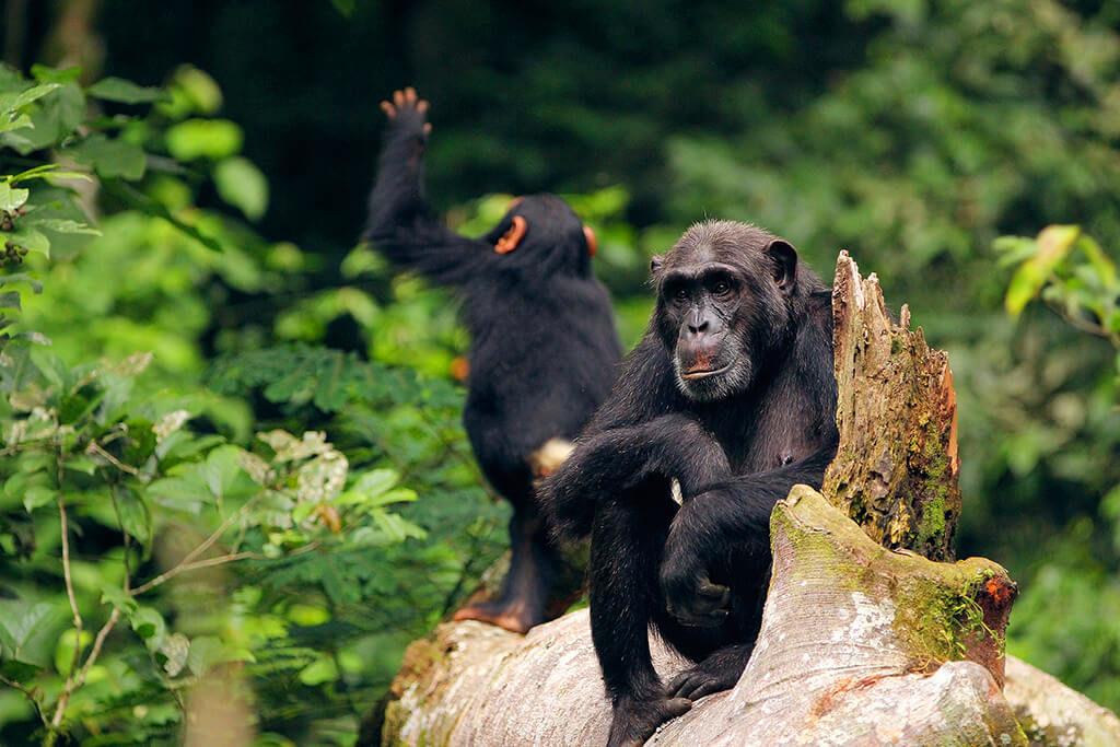 KO1604_Uganda_Simpanzi_penelope_-_adult_female_and_her_infant_female_kozena_3_asunow.asu.edu
