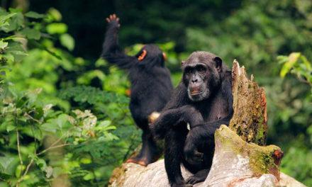 Jak jsme se setkali s divokými šimpanzi v Ugandě