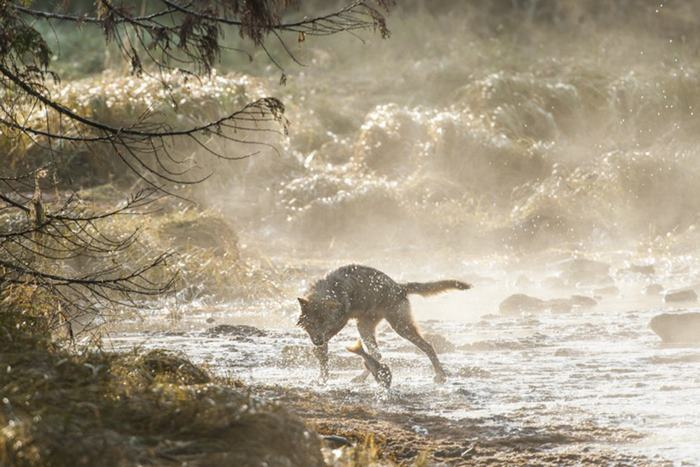 swimming-sea-wolves-pacific-coast-canada-ian-mcallister-10