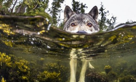 Seznamte se se vzácnými mořskými vlky, kteří žijí u oceánu a dokáží plavat hodiny v kuse
