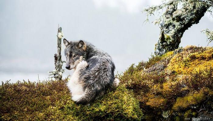 swimming-sea-wolves-pacific-coast-canada-ian-mcallister-9