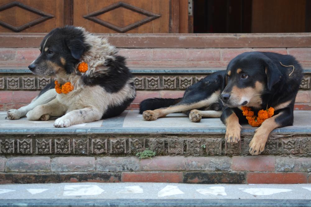 V Nepálu se koná psí festival, při kterém uctívají nejlepšího přítele člověka