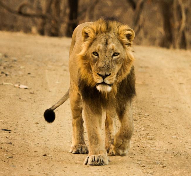 Lev indický žije1