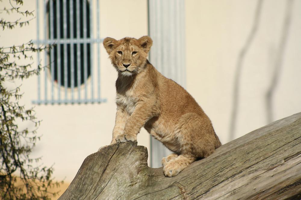 Lev indický žije2