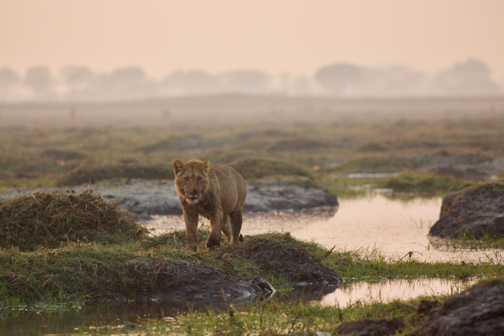 Lev indický žije4