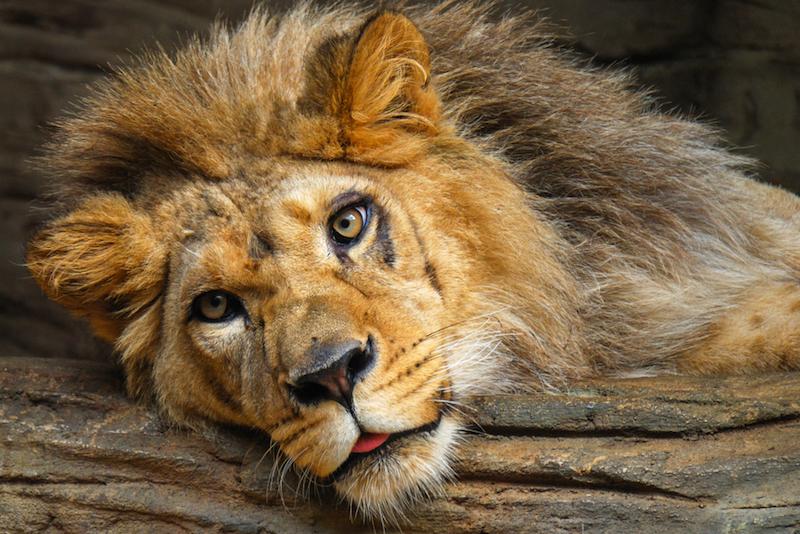 Lev indický žije divoce na jediném místě na světě. Vidět ho můžete i v pražské ZOO8 minut čtení