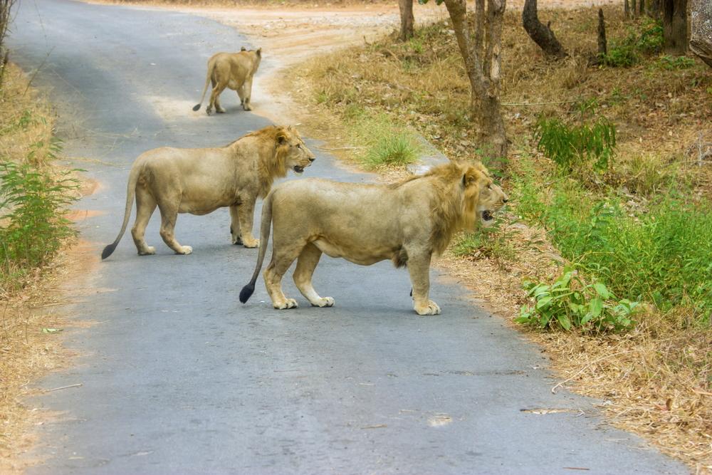Lev indický žije7
