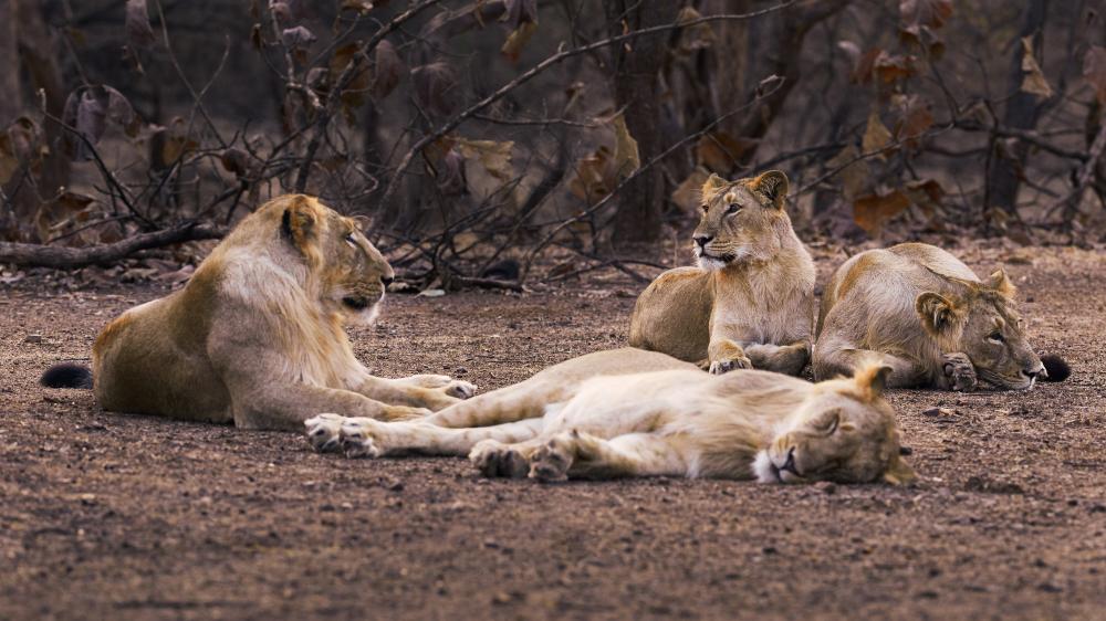 Lev indický žije8