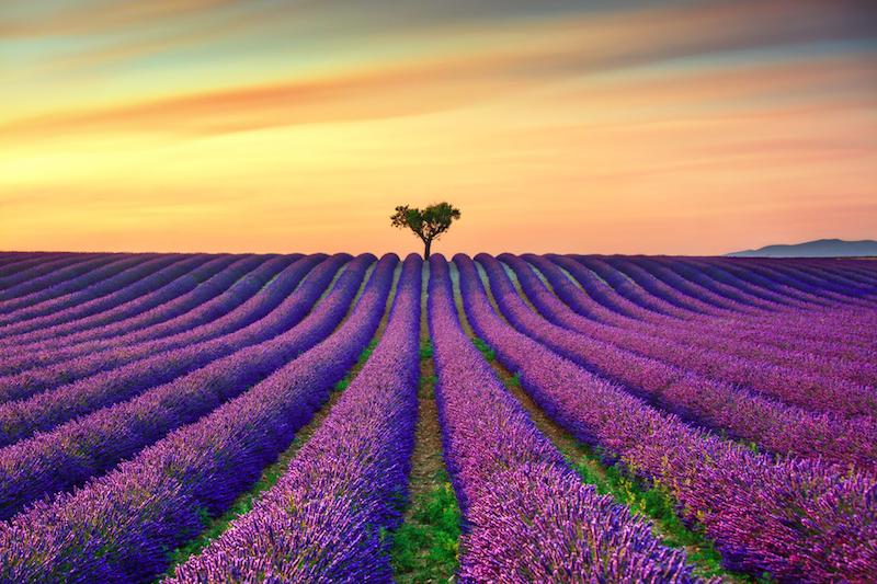 Levandulová pole, Francie