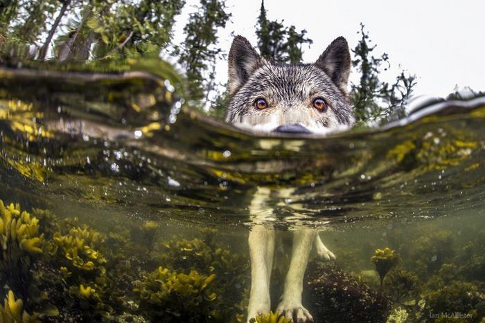 Seznamte se se vzácnými mořskými vlky, kteří žijí u oceánu a dokáží plavat hodiny v kuse2 minut čtení