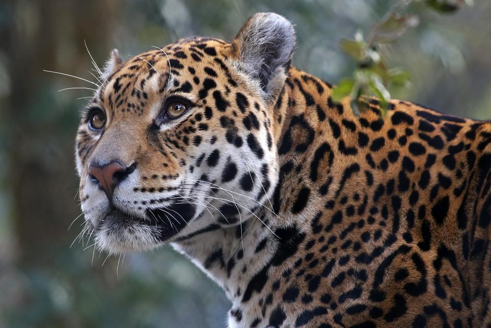 Pantanal jaguar 2