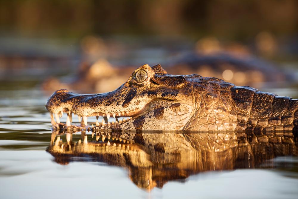 Pantanal kajman 2