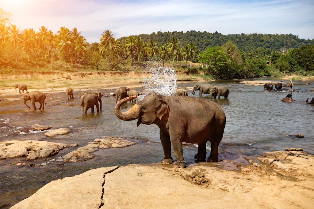 Sloni na Sri Lance