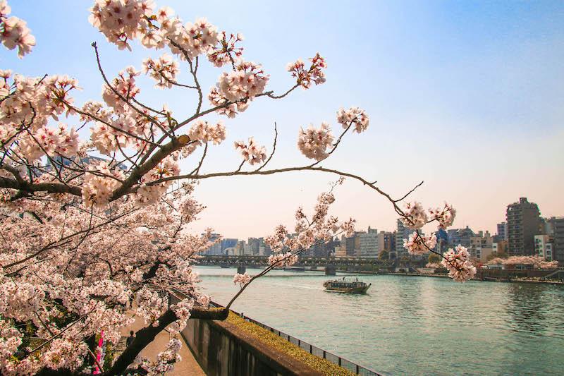 japonsko sakura
