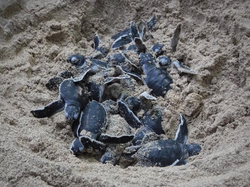 Srí Lanka vylíhlé želvy