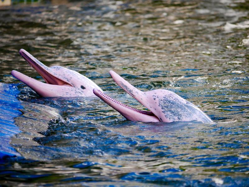 Hongkong delfín