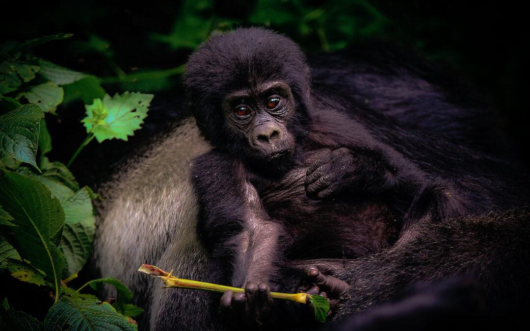 Ohrožené horské gorily v Ugandě zabil blesk, do místa neštěstí míří s finanční pomocí expedice Go za Gorilou!